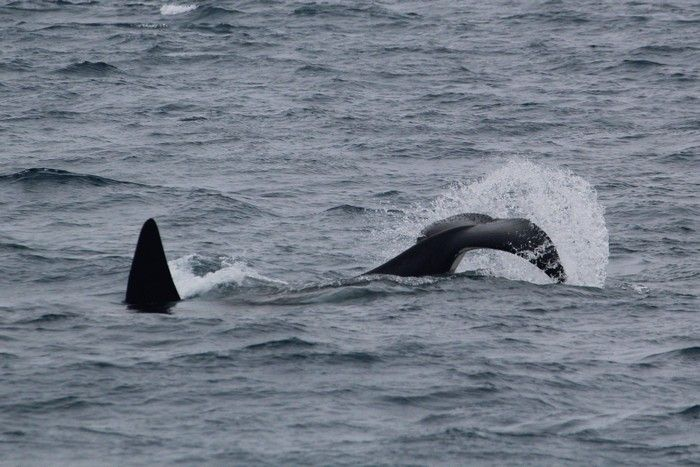 Orca tail slapping on the surface - lightbox