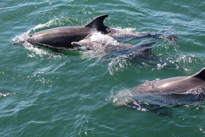 Common dolphins - lightbox