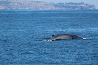 Fin whale with Point Fermin behind - thumbnail