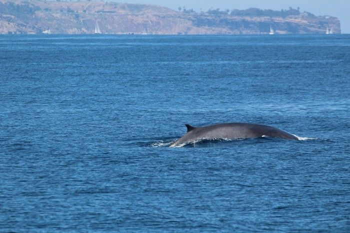 Fin whale with Point Fermin behind - lightbox