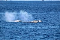 Gray whales blowing - thumbnail