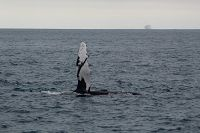 Humpback whale pectoral flipper up in the air - thumbnail