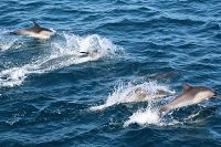 Common dolphins at the surface - thumbnail
