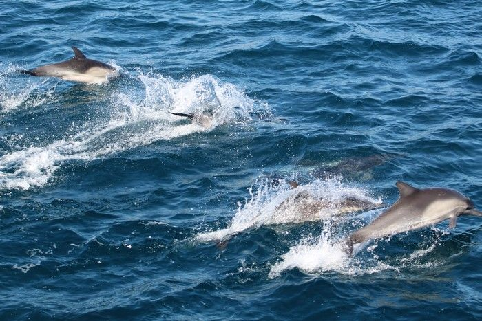 Common dolphins at the surface - lightbox
