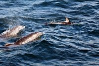 Pacific white-sided dolphins with bottlenose dolphins - thumbnail