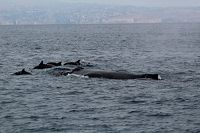 Humpback whale with common dolphins bow riding - thumbnail