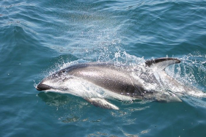 Pacific white-sided dolphin - lightbox