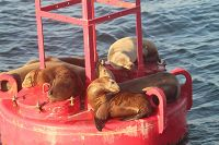 Sea lions resting on a buoy - thumbnail