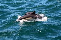 Common dolphin cow/calf pair jumping out of the water - thumbnail