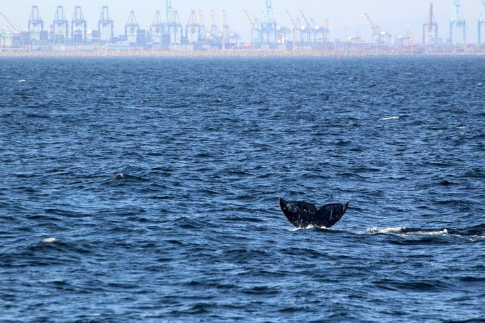 Gray whale fluke with the port in the background - lightbox