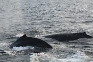 2 humpback whales at surface links to Humpback Whales and Orcas Have Been Spotted in the Waters Off Long Beach