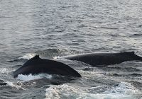 Beautiful Humpback Whales In The Area