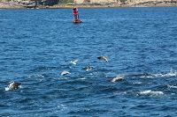 Sea lions, dolphins, and gulls - thumbnail