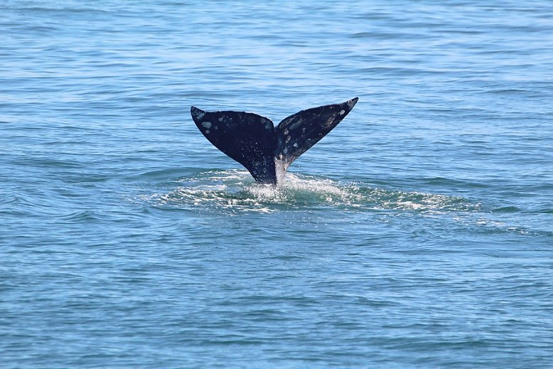 Gray whale fluke poised high in the air as it starts its dive - slideshow