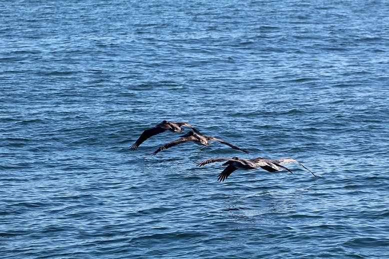 Pelicans flying in line across the water - slideshow