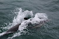 Common dolphin splashing into the water - thumbnail