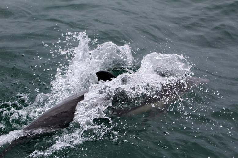 Common dolphin splashing into the water - slideshow