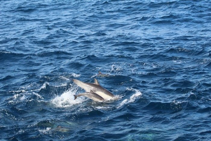 Common dolphin cow-calf pair - lightbox