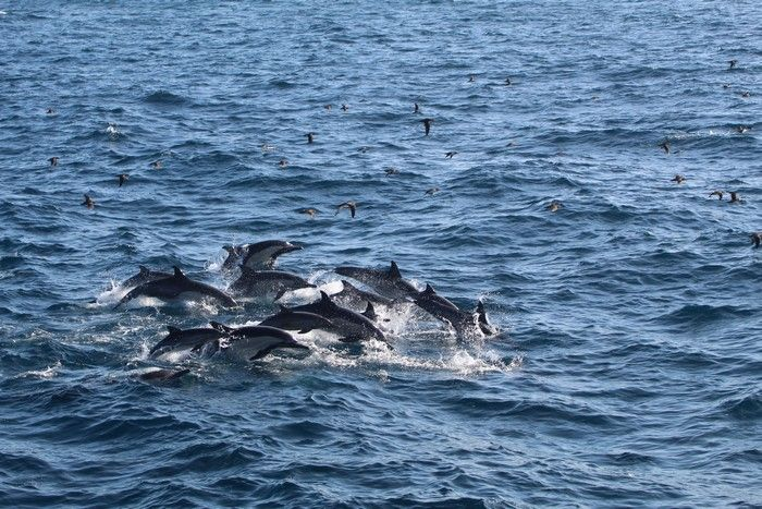 Large group of common dolphins with cow-calf pairs - lightbox