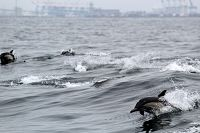 Common dolphins leaping through the air - thumbnail