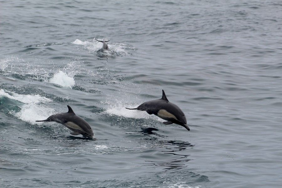 Common dolphins leaping in the boat wake - lightbox
