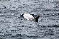 Risso's dolphin blowing at the surface - thumbnail