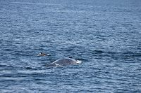 Fin whale and common dolphin - thumbnail