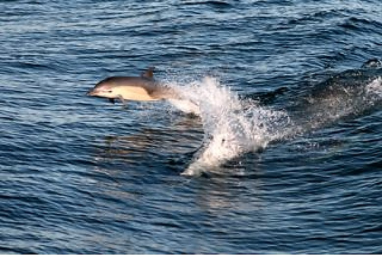 A common dolphin gets airborn as it surfs the wake behind the boat - slideshow