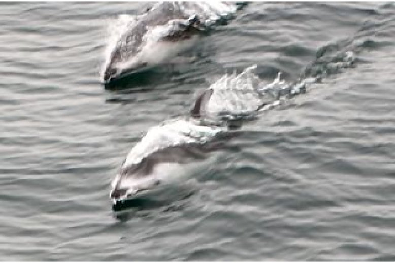 A pair of Pacific white sided dolphins are surfing the back of the boat - slideshow