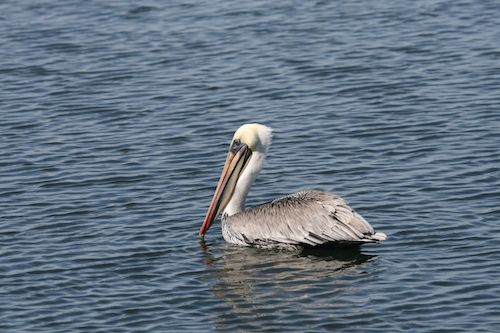Brown Pelicans Are Off the Endangered Species List