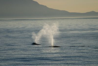 Two gray whale blows