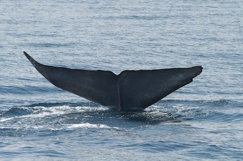 Blue Whale Watching Starts Friday