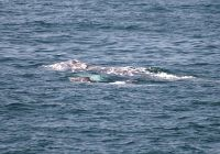 Gray Whale Sightings are Still Holding Strong as the Season Winds Down