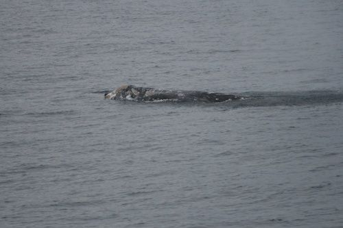 An Early Showing for the Gray Whales This Season?