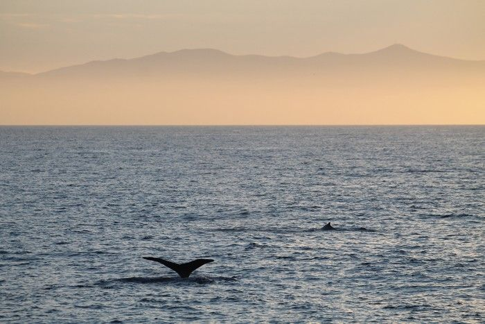 Humpback whale fluke with Catalina Island in the background - lightbox
