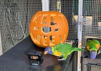 Lorikeet Scarium of the Pacific Pumpkin Enrichment