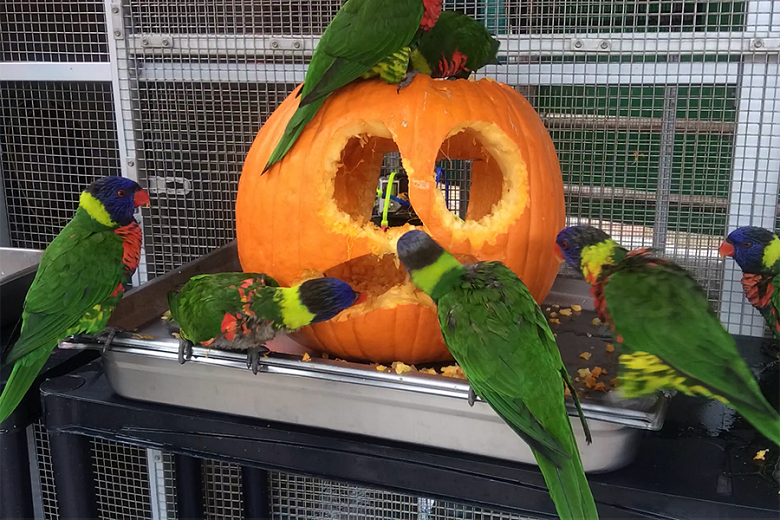 Lorikeet Pumpkin Enrichment - popup