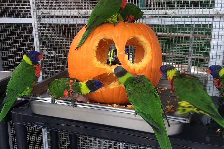 Lorikeet Pumpkin Enrichment - lightbox