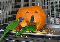The Lorikeets Give A Pumpkin A Makeover