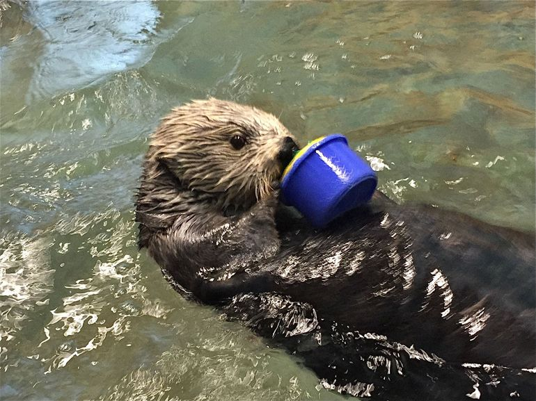 Cup-stacking Otter