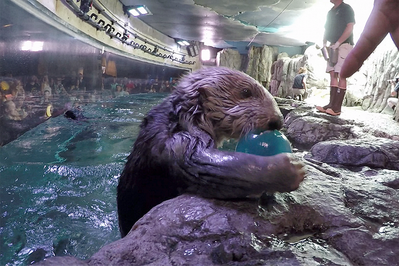 Sea Otter Maggie with enrichment toy - popup