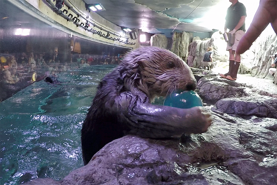 Sea Otter Maggie with enrichment toy - lightbox