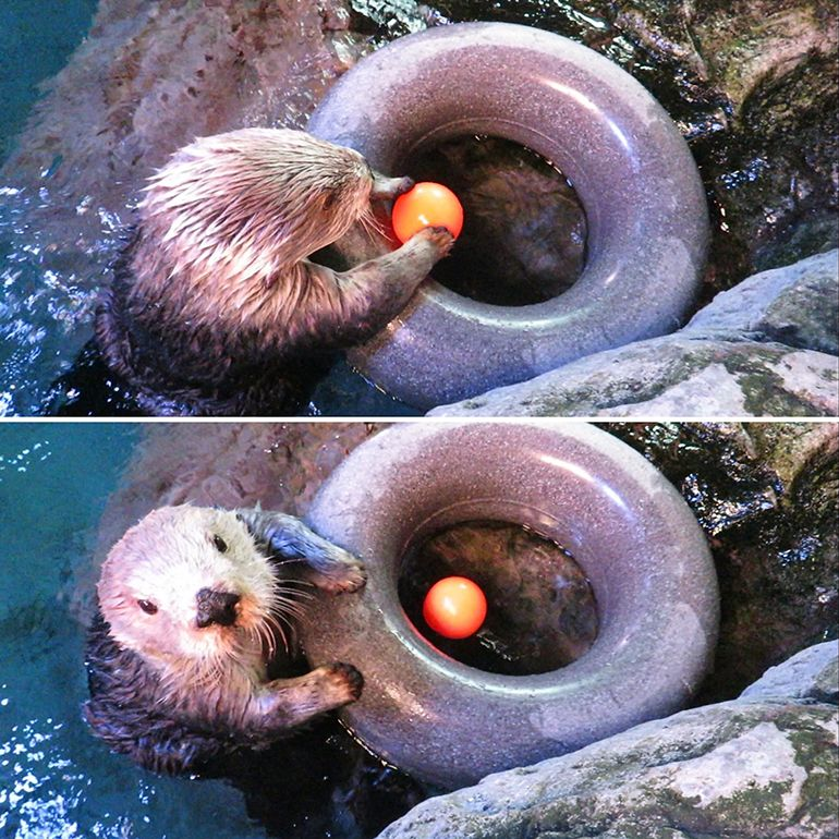 Sea Otter Slam Dunk