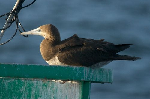 Rare Sightings of a Brown Booby Bird While Whale Watching!
