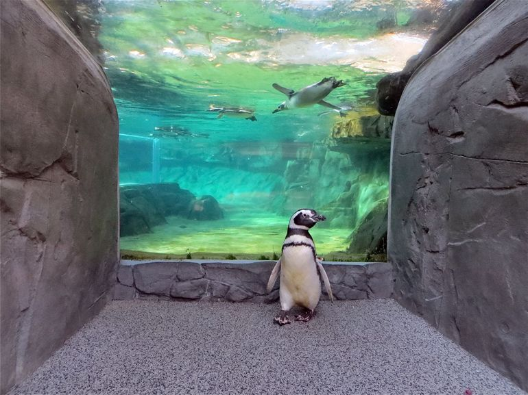 Newsom the Penguin Explores the Guest Side of the Exhibit