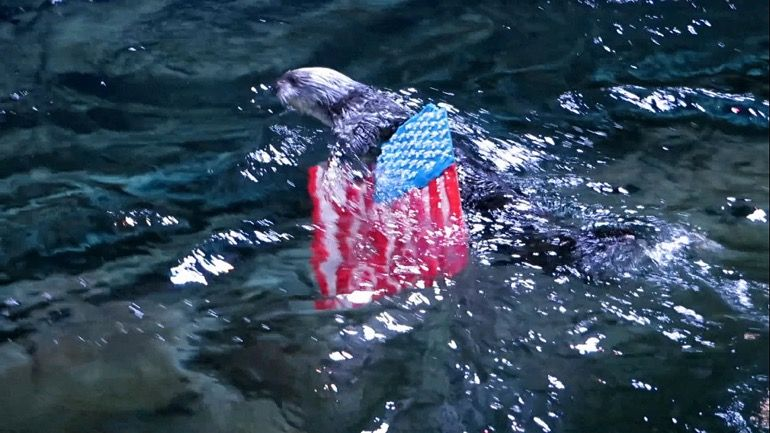 Ollie The Sea Otter Shows Off Old Glory