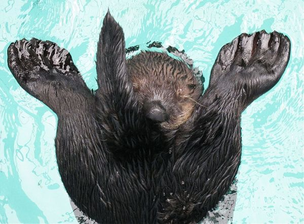 OLLIE THE SEA OTTER GETS A ROLE MODEL