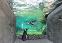 Watching Penguins from the Under-look