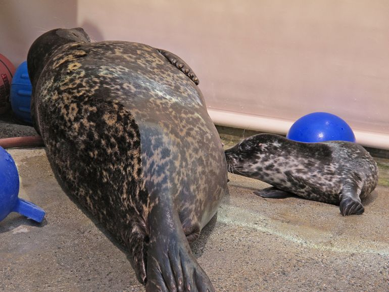 IT'S A GIRL!  Newborn Harbor Seal Pup