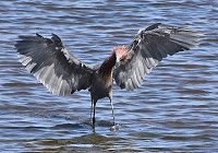 Dance of the Reddish Egret